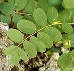 leave of robinia pseudoacia